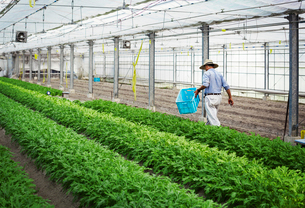 A man in a hat working in a greenhouse harvesting a commercial crop, the mizuna vegetable plant.の写真素材 [FYI02255119]