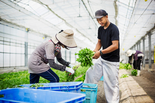Two people working in a greenhouse harvesting a commercial food crop, the mizuna vegetable plant.の写真素材 [FYI02255128]