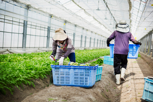 Women working in a greenhouse harvesting a commercial food crop, the mizuna vegetable plant.の写真素材 [FYI02255130]