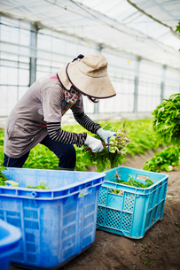 Women working in a greenhouse harvesting a commercial food crop, the mizuna vegetable plant.の写真素材 [FYI02255135]