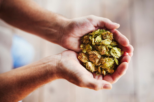 Close up of human hands holding a handful of dried hops.の写真素材 [FYI02255149]