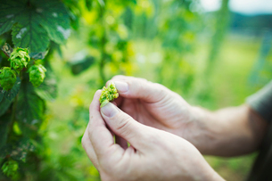 Man standing outdoors, picking hops from a tall flowering vine with green leaves and cone shaped floの写真素材 [FYI02255170]