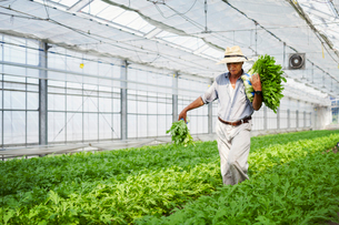 A man working in a greenhouse harvesting a commercial food crop, the mizuna vegetable plant.の写真素材 [FYI02255177]