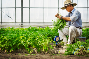 A man working in a greenhouse harvesting a commercial crop, the mizuna vegetable plant.の写真素材 [FYI02255210]