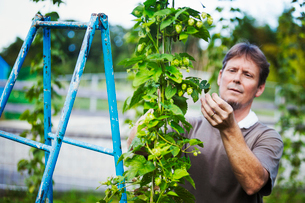 Man standing outdoors, picking hops from a tall flowering vine with green leaves and cone shaped floの写真素材 [FYI02255381]