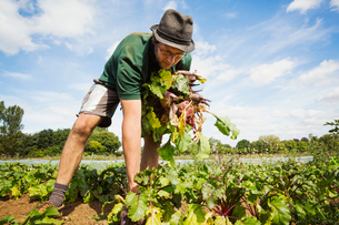 A man working in the field, pulling glossy red beetroots up.の写真素材 [FYI02255407]