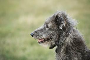 Close up of Scottish Deerhound sitting in a field.の写真素材 [FYI02255572]