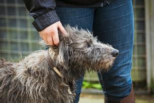 Scottish Deerhound standing next to a rider.の写真素材 [FYI02255611]