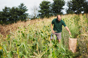 A man harvesting ripe sweet corn cobs, putting them in a sack.の写真素材 [FYI02255648]