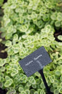 Plants growing in a vegetable garden, with a slate name label. Indian borage.の写真素材 [FYI02255669]