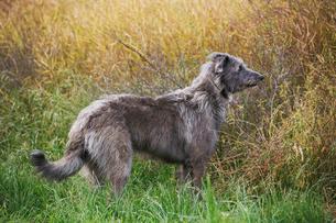 Scottish Deerhound standing in a field.の写真素材 [FYI02255704]