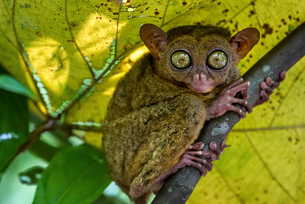 A small nocturnal animal, the tarsier, with fixed round eyes, on a tree branch.の写真素材 [FYI02255721]