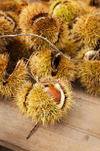 A heap of fresh sweet chestnuts for roasting. Spiny pods.の写真素材 [FYI02255900]