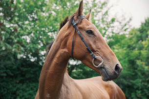 A bay thoroughbred racehorse in a paddock. Head turned.の写真素材 [FYI02255917]