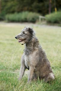 Scottish Deerhound sitting in a field.の写真素材 [FYI02255923]