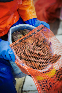 A fisherman pouring harvested oysters into a net bag for sale, traditional sustainable oyster fishinの写真素材 [FYI02256026]