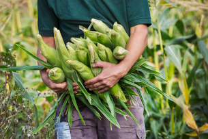 A man harvesting ripe sweet corn cobs, with arms full of cobs.の写真素材 [FYI02256042]