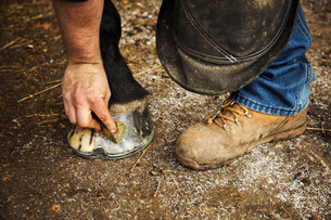 A man oiling and polishing the feet of a horse with a rag.の写真素材 [FYI02256107]