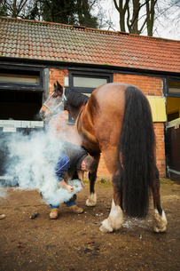 A farrier shoeing a horse, bending down and fitting a new horseshoe to a horse's hoof.  Steam from tの写真素材 [FYI02256196]