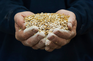 Close up of human hands holding golden malt, a major ingredient for flavouring craft beer.の写真素材 [FYI02256315]