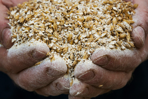 Close up of human hands holding golden malt, a major ingredient for flavouring craft beer.の写真素材 [FYI02256338]