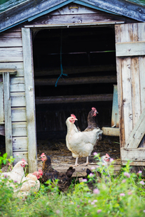 Chickens stood in the door of a coop.の写真素材 [FYI02256353]