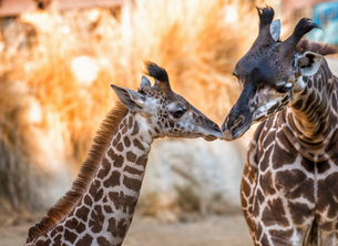 Two giraffes at Los Angeles Zoo nuzzling.の写真素材 [FYI02256354]