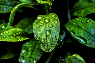 Glossy evergreen leaves with droplets of moisture at Half Moon Bay in California.の写真素材 [FYI02256376]