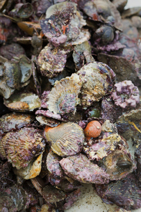 Traditional Sustainable Oyster Fishing. A heap of oyster shells on seaweed.の写真素材 [FYI02256418]