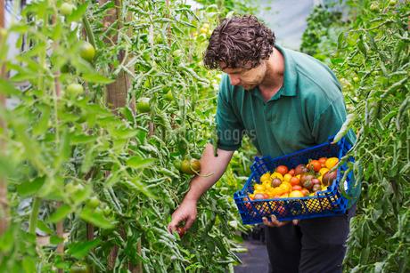 Male gardener picking fresh tomatoes.の写真素材 [FYI02256684]