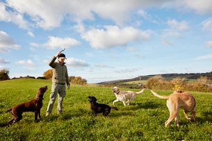 Dog walker, a man with his arm raised to throw a stick for three dogs.の写真素材 [FYI02256734]