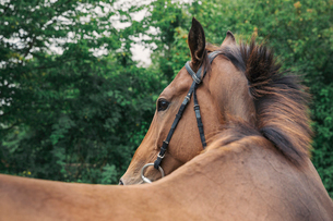 Close up of a bay horse in a bridle in a paddock, turning head.の写真素材 [FYI02256811]