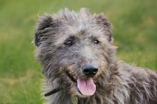 Scottish Deerhound sitting in a field.の写真素材 [FYI02256851]