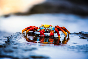 Sally Lightfoot Crab, Grapsus grapsus found in the Galapagos Islands.の写真素材 [FYI02256947]