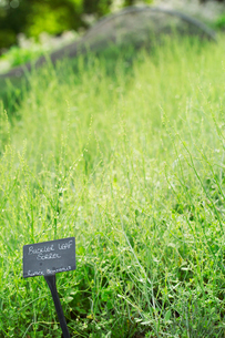 Plants growing in a vegetable garden, with a slate name label. Sorrel.の写真素材 [FYI02256963]