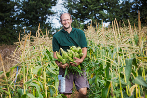 A man harvesting ripe sweet corn cobs, with arms full of cobs.の写真素材 [FYI02257022]
