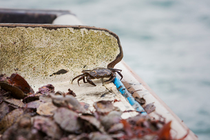 Traditional Sustainable Oyster Fishing. Small dark shelled crab among shells.の写真素材 [FYI02257215]