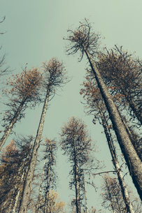 Low angle view of fire damaged trees.の写真素材 [FYI02257244]