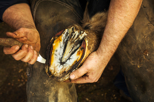 A farrier bending and holding a horse's hoof and paring and clearing the underside.の写真素材 [FYI02257248]