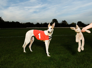 White greyhound wearing red bib with number one, standing on racetrack, a toy rabbit dangling from aの写真素材 [FYI02257369]