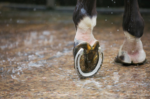 Close up of a horse's hoof with a new horse shoe.の写真素材 [FYI02257401]