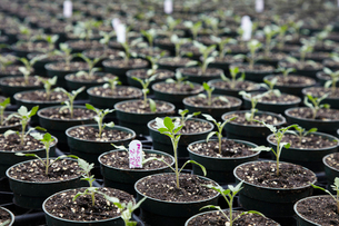 Seedling plants in pots packed together, a plant nursery. Labels.の写真素材 [FYI02257421]