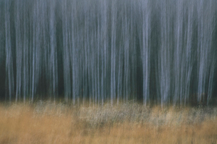 An aspen forest in autumn.  Thin white tree trunks of the quaking aspen in low light with autumnal uの写真素材 [FYI02257487]