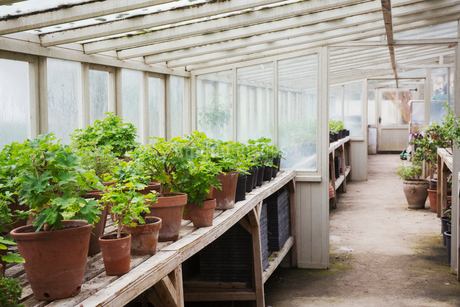 Interior view of the greenhouse with plants in terracotta pots, in a plant house.の写真素材 [FYI02257496]