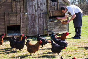 Hens and a rooster. A man in a chef's apron collecting the eggs from a chicken coop.の写真素材 [FYI02257589]