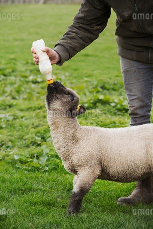 A man bottle feeding a young lamb in a field.の写真素材 [FYI02257616]