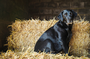 Black Labrador dog sitting on a bale of straw in a stable.の写真素材 [FYI02257629]