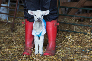 Newborn baby lamb dressed in a knitted jumper standing between the legs of a person wearing red Wellの写真素材 [FYI02257788]