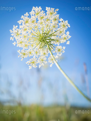 A flowerhead, floral spike with white flowers, against a blue skyの写真素材 [FYI02257821]