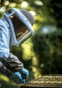 Beekeeper wearing mesh headguard using a tool on trays, collecting honey from the supers in an openの写真素材 [FYI02257898]